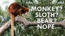 Not a Sloth Monkey or Bear the Tree Kangaroo is Amazing