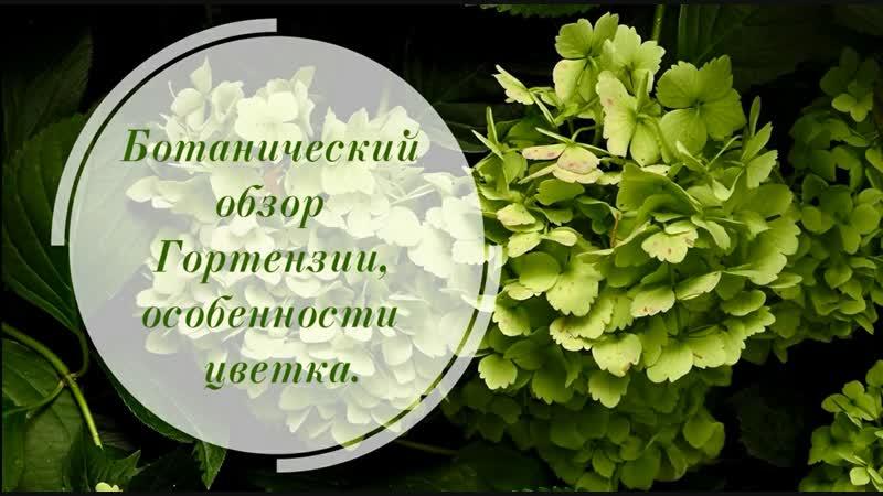 Козьякова Юлия. Ботанический обзор Гортензии, особенности цветка 2018