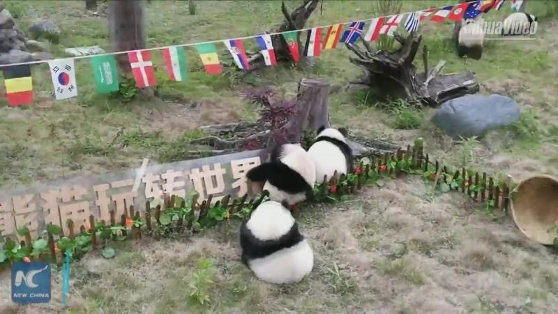 Умиление! Футбольная вечеринка малышей панды