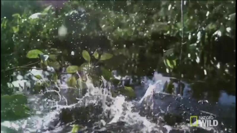 Замечательное видео от NatGeoWild о том как Американские арованы охотятся на насекомых при разливах водоемов.