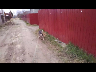 Акамару бежит домой