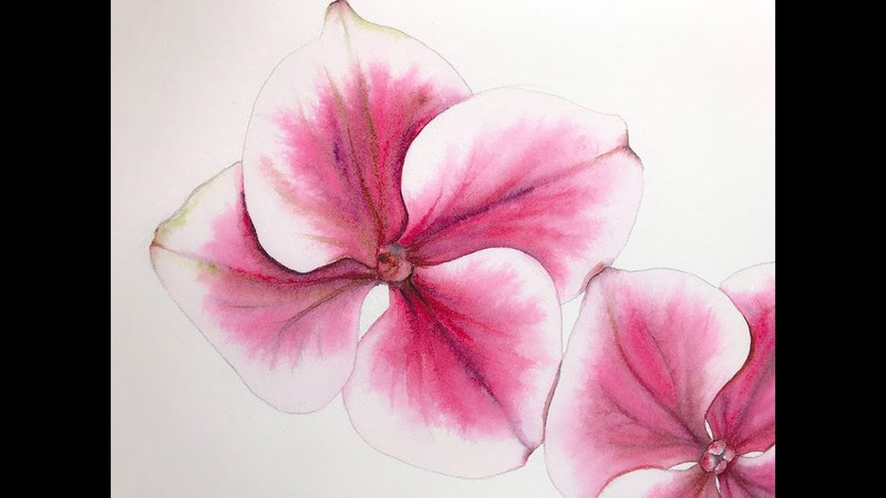 Watercolor Harlequin Hydrangeas Painting Demonstration