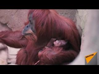 Орангутана Эмму с детенышем впервые показали публике