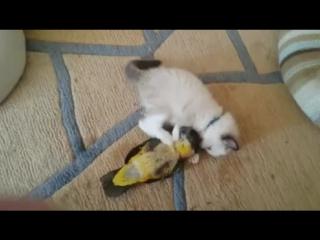 Беззаботное детство, котик и попугай) #юмор #играют #кот #попугай