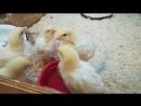 цыплята_крохаенот