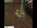 Робот пылесос и собаки