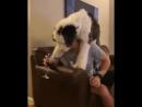 Пёс-алкоголик - горе в семье