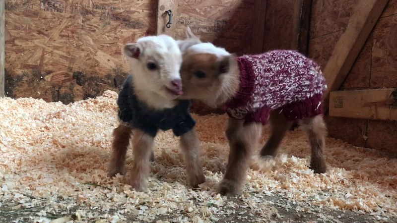 Sassy Goat Siblings-2 Days Old