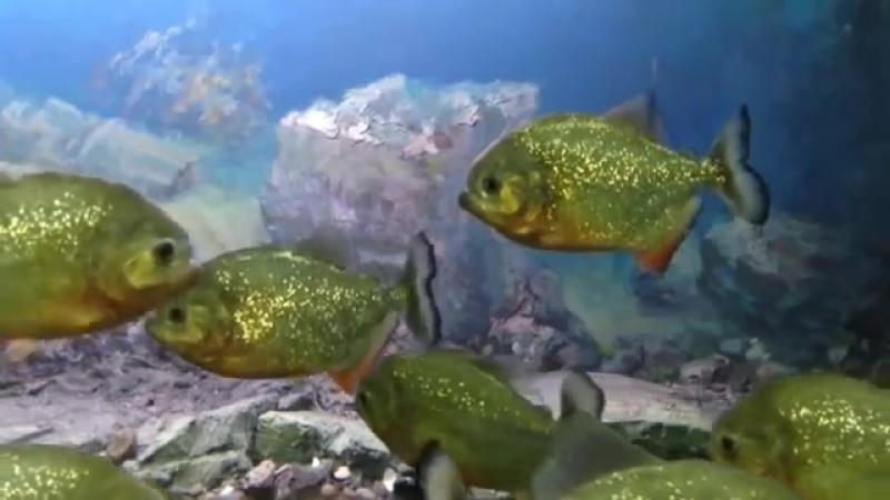Самые опасные хищные рыбы. ПИРАНЬИ. РЕЧНЫЕ МОНСТРЫ