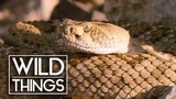 Rattlesnakes Deadly Reptiles Documentary Wild Things