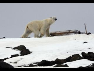 День полярного медведя