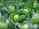 Хитрости выращивания капусты Вредители и болезни капусты