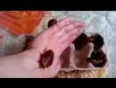 Тараканы рода Блаберус.
