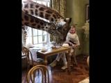 Giraffes!2