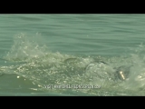 Dolphins trick fish with mud nets _ One Life _ BBC