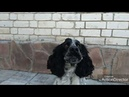 Русский охотничий спаниель Бим, 2 года | Russian Hunting Spaniel Bim, 2 years