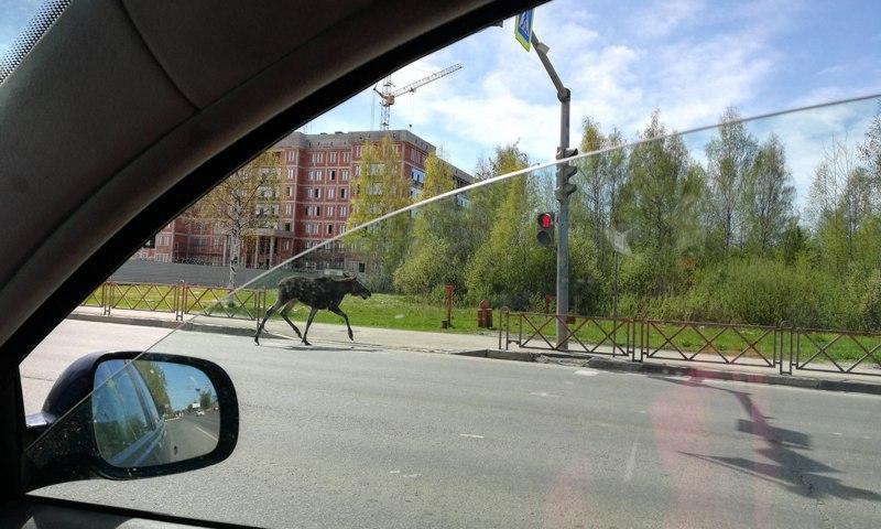 В Дядьково лось из двора выбежал на проспект Фрунзе