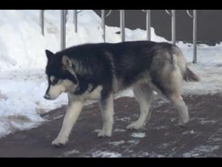 Волки от испуга скушали друг друга...