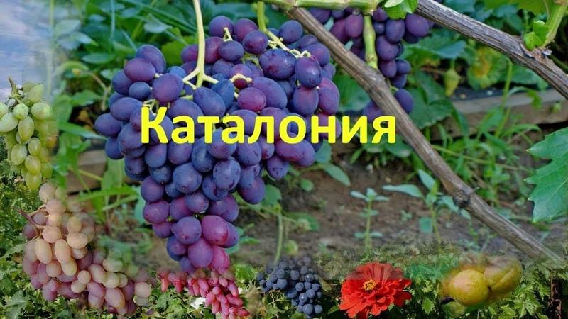 Виноград 2018. Виноград Каталония на Полтавщине.
