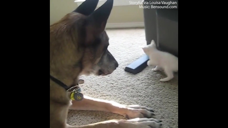 Daily Mail - This retired military dog is smitten with a kitten (Эта отставная военная собака поражена котенком!)