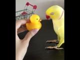 Ожереловый попугай разговаривает с игрушечной уткой