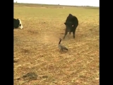 THESE BRAVE COWS CROSSED PATHS WITH DEATH AND LIVED TO TELL THE TALE