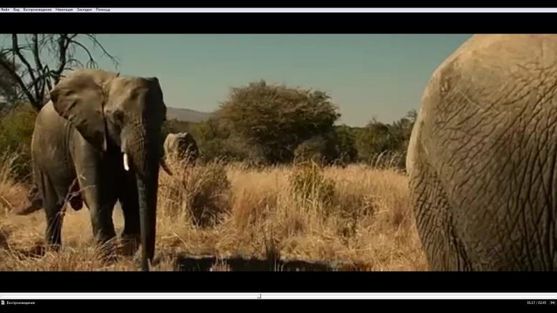 Слоновья вечеринка хакуна матата как прожить во влагалище слона