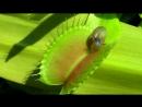 Venusfliegenfalle Schnecken als Nahrungsmittel Venus flytrap Dionaea muscipula mp4