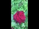 На даче роза «чёрный принц»