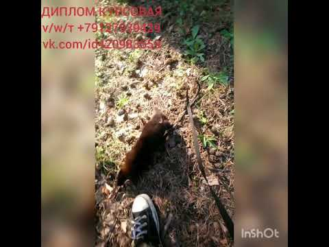 ЛисаГела ТанукиНиза и СобольФагот на прогулке 😊ДИПЛОМ КУРСОВАЯ тvw 79127939429 vk.comid420