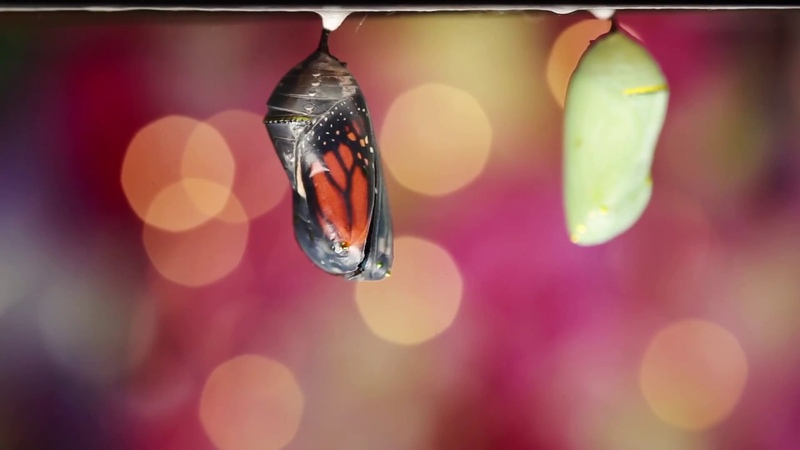 Butterfly Transformation: Act ll. Chrysalis to Butterfly!!