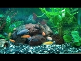 Мой аквариум с цихлидами.
