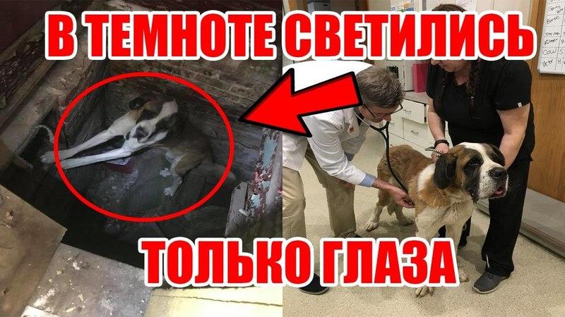 В яме печально светились глаза собаки Спасение собаки из ямы Спасение сенбернара