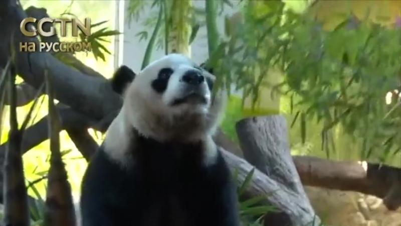 Тройня гигантских панд провели свой четвертый день рождения в Мире дикой природы Гуанчжоу Чанлун