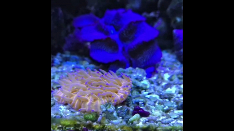 Фунгия оранжевая. Еще один тип жесткого корала LPS😍