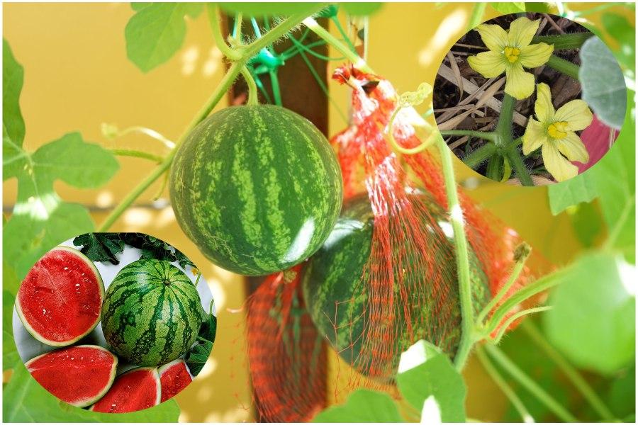 Особенности выращивания арбуза в контейнере дома