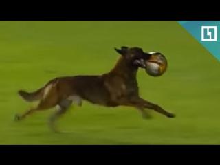 Полицейская собака выбежала на футбольное поле