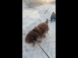 Немного о том, как Вальтер стал ездовой собакой))