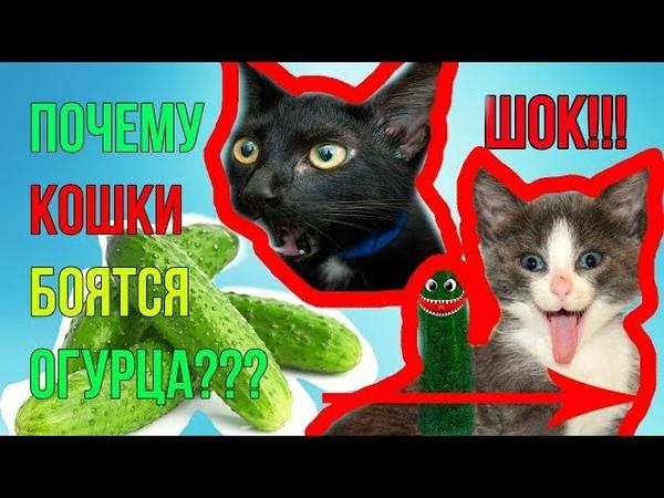 ШОКПОЧЕМУ КОШКИ НА САМОМ ДЕЛЕ БОЯТСЯ ОГУРЦА SHOCK WHY ARE CATS AFRAID OF CUCUMBER