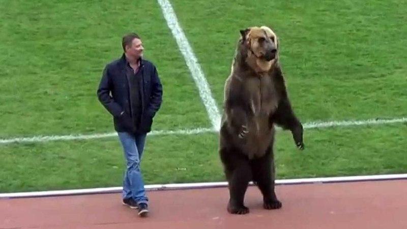 Британские зоозащитники обеспокоены судьбой циркового медведя который открыл футбольный матч вПятигорске
