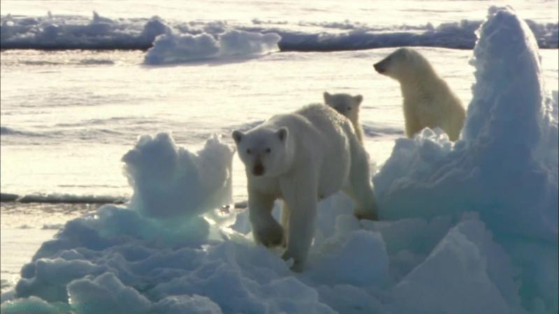 BBC «Полярные медведи: Шпионы на льду» (2 серия) (Документальный, природа, животные, 2010)