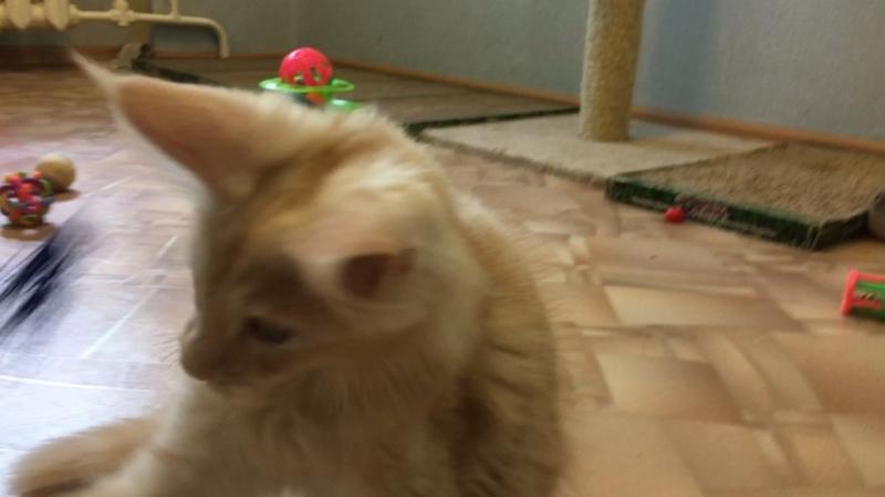 Котик Ivan Acadia Maine ( Иван ) свободен для продажи, возраст 3 месяца. Готов к переезду с прививками и документами