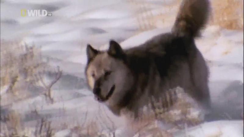 Avcılar 6 - Canis Dirus