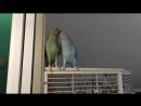 Попугайский поцелуй l Parakeets kiss