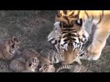 Шесть тигрят мамы Фриды