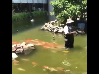 Голодные рыбы следуют за фермером, которых их кормит