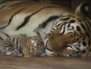 тигриный карапузик