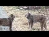 В Сети появилось интересное видео с дикими рысями