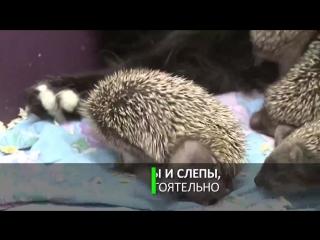 Мама Муся_ кошка усыновила восьмерых ёжиков-сирот