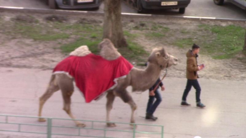 По улицам слона водили... Точнее, верблюда.